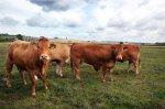 Fleischerei-Klare-Limousin-0009.jpg